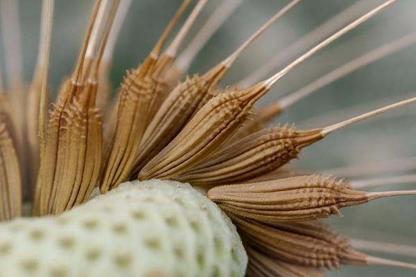 Dandelion Seeds - Taraxacum officinale by Mendipman