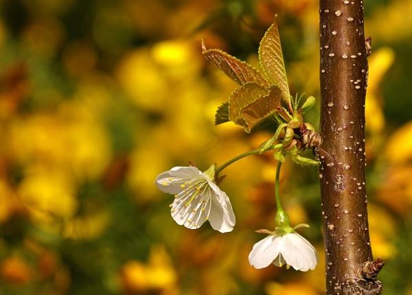 Spring blossom. by georgiepoolie