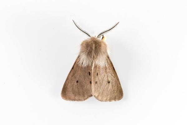 Muslin Moth (Diaphora mendica) by Overread