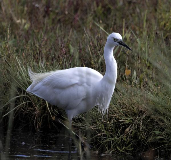 Little Egret by tralfamadorean