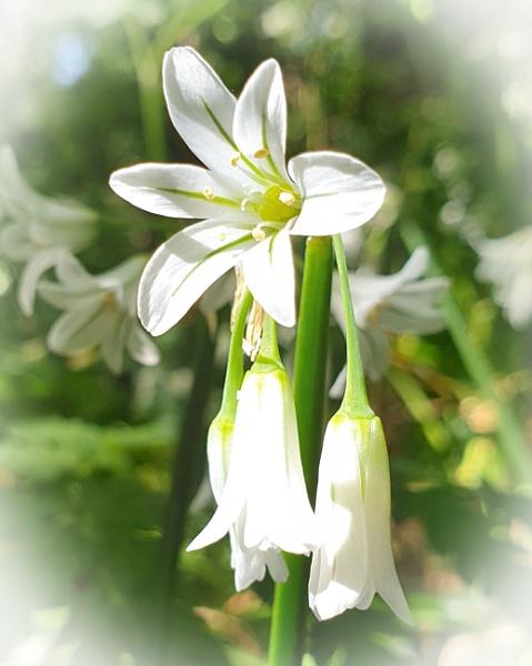 Wild Garlic.....I think? by g0hop