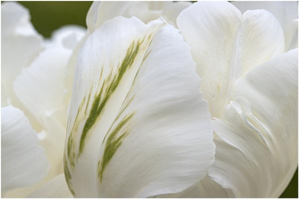 White Petals by capto