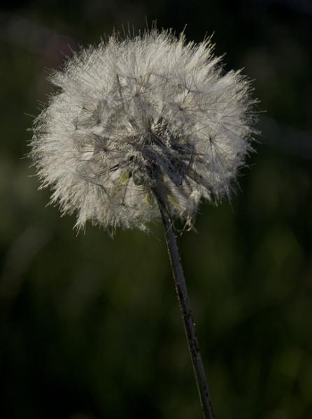 Dandelion by ChristopherA