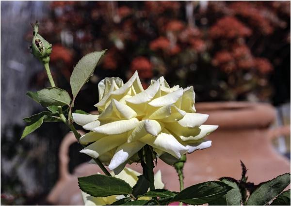 Rose by jimobee