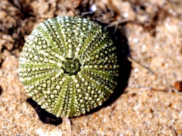 Little urchin by DerekHollis