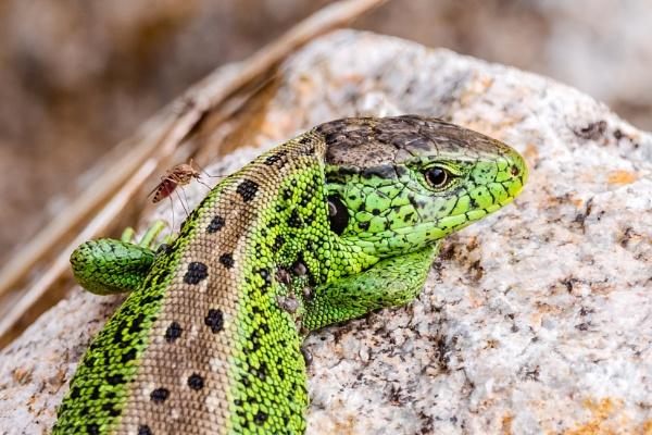 Pitiful Lizard by aldasack1957