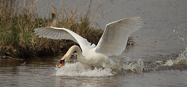 Mute Swan--Male. by bobpaige1