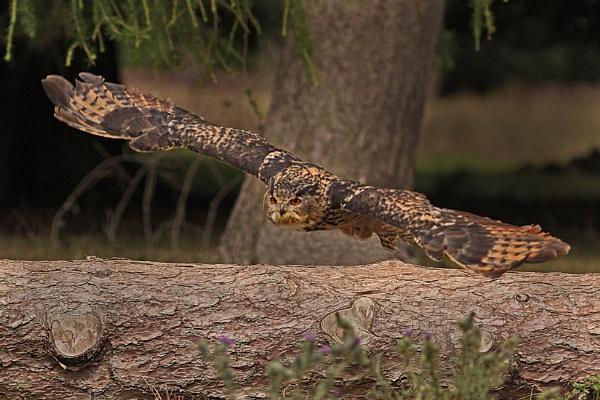 European Eagle Owl--Bubo bubo. by bobpaige1