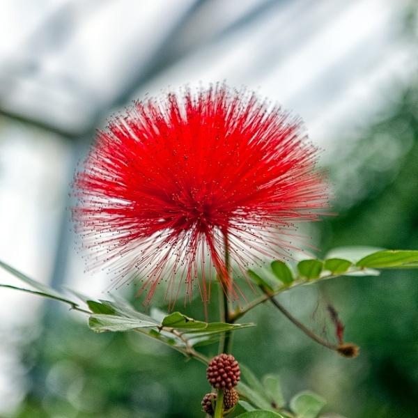 Fluffy Red Flower by NevJB
