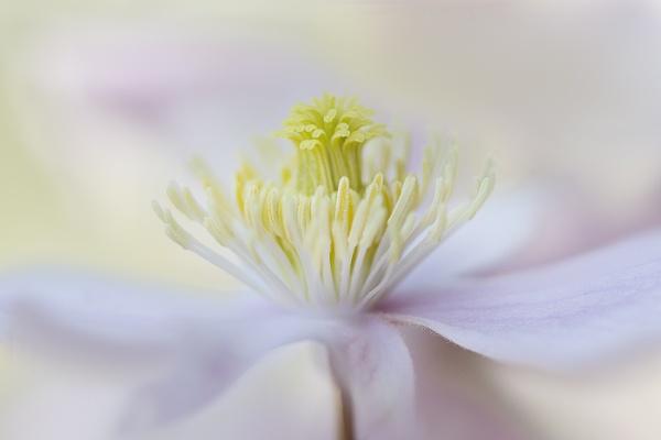 Clematis montana by janedibnah