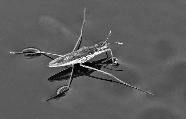 Water boatman by frogs123