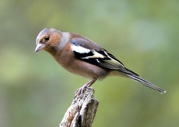 Chaffinch Male by robertsnikon
