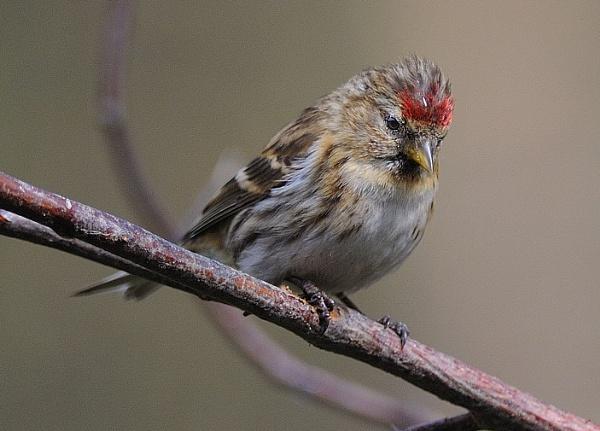 Lesser Redpoll  Female by robertsnikon