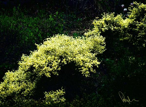 A Yellow Bush by FotoDen