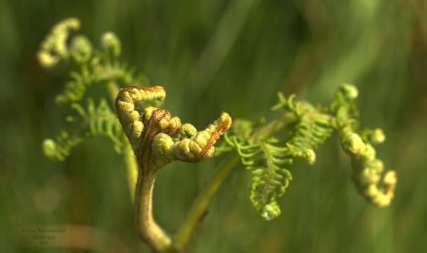 Ferns by canoncarol