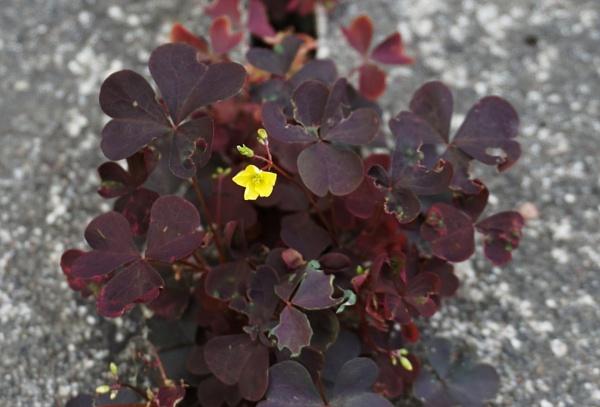 Small yellow blossom 2 by SauliusR