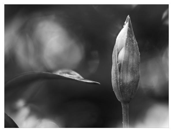 Wild garlic bud by suemart