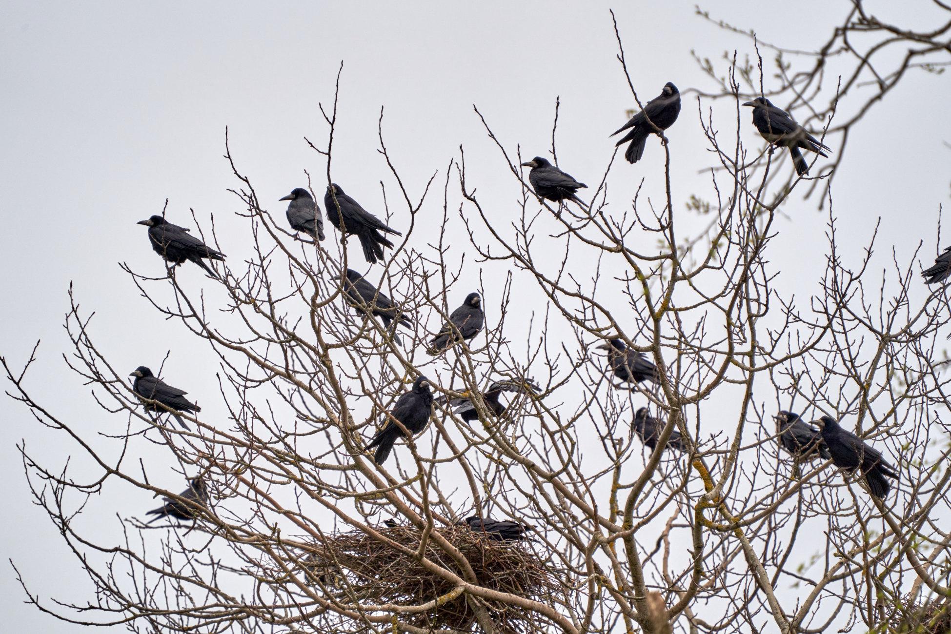 Flock of Rook birds