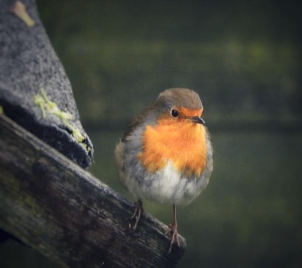 Little Robin by Chelle65