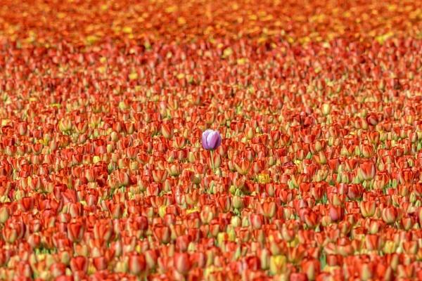 Tulip field by gerti62