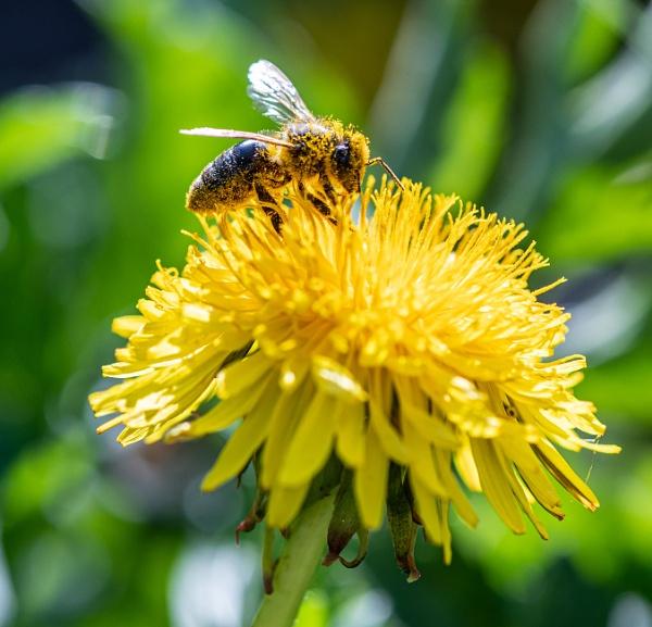 Bee on dandelion by lagomorphhunter