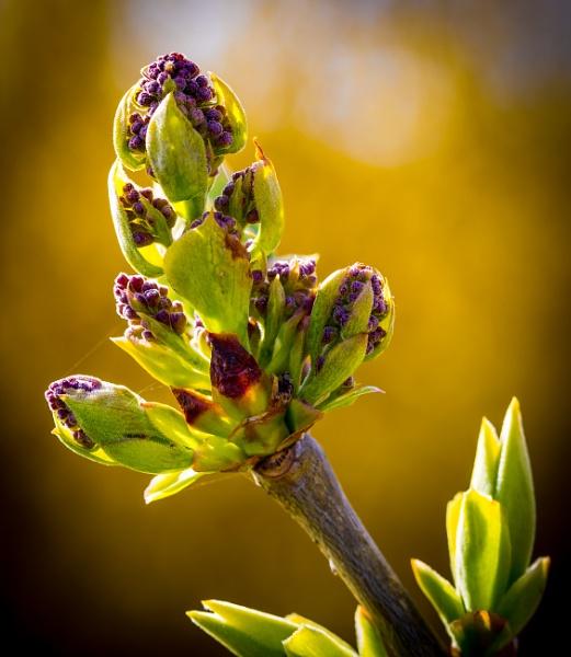 Lilac - ready to burst by plind