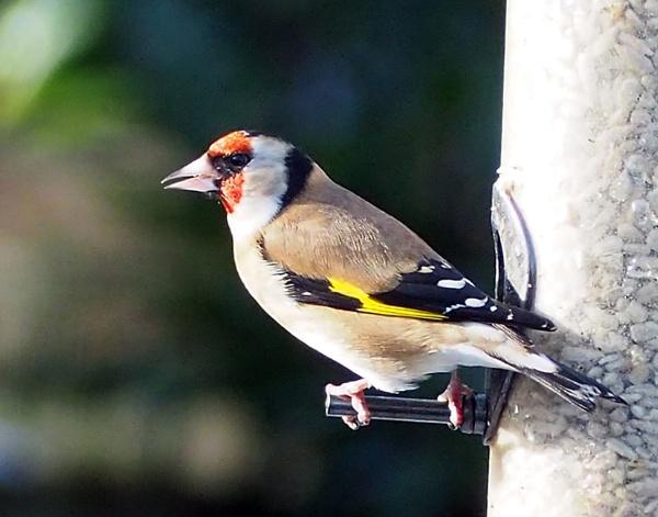 goldfinch by derekd