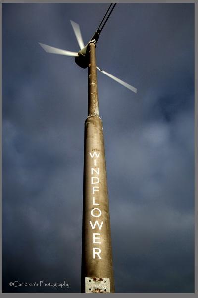 Windflower by Cammy