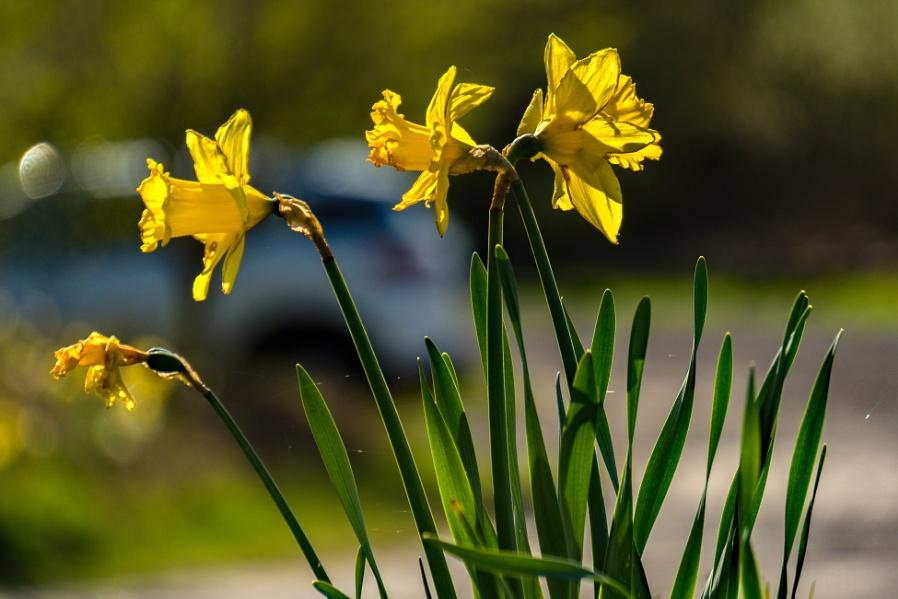 Jumping On The Daffodil Bandwagon #4