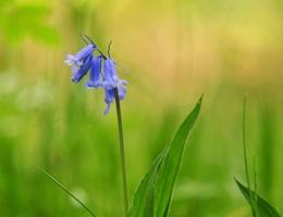Bluebell Sunday