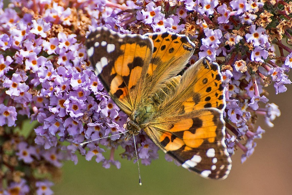 A Painted Lady by johnsd