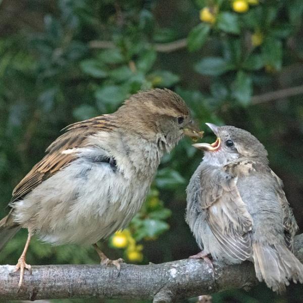 Feeding fledgling house sparrow by oldgreyheron