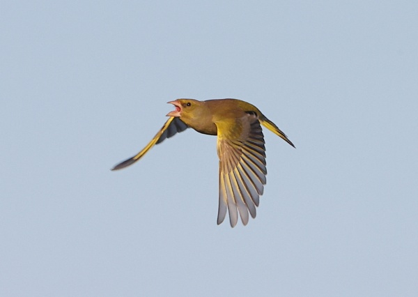 Greenfinch by NeilSchofield