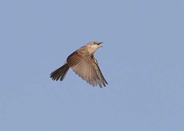 Lesser Whitethroat in Flight by NeilSchofield