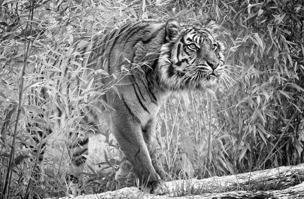 Tiger by Draig37