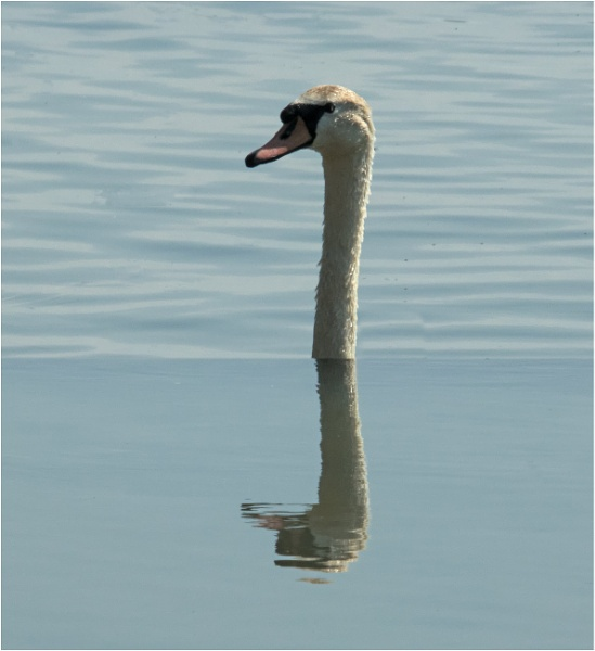 A sinking swan. by franken