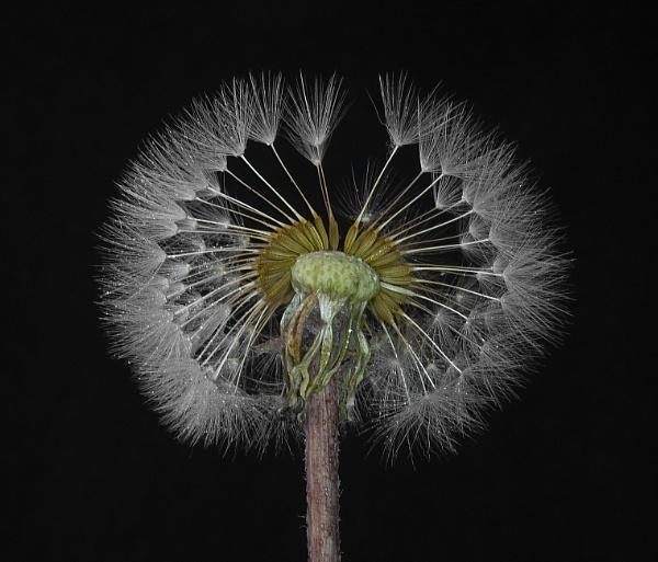 Dandelion head by teepee