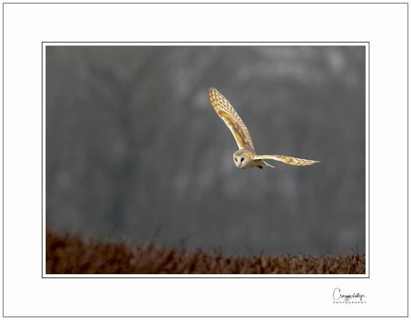 Barn Owl by craggwildlifephotography