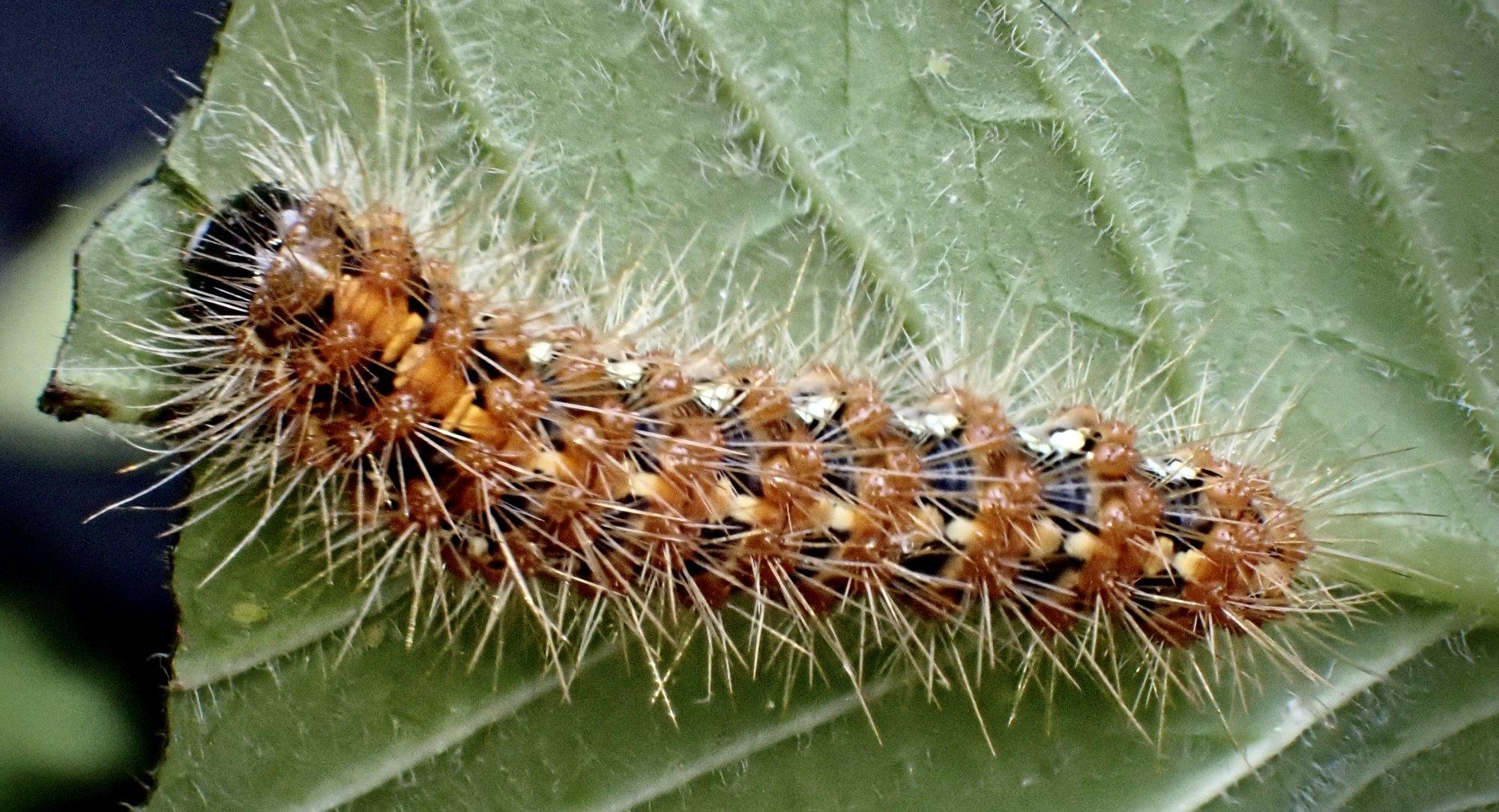 Brown tailed moth caterpillar