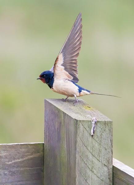 Swallow (Hirundo rustica) by Ray_Seagrove