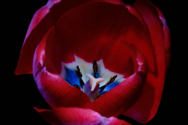 Tulip photography therapy 2 by iNKFIEND