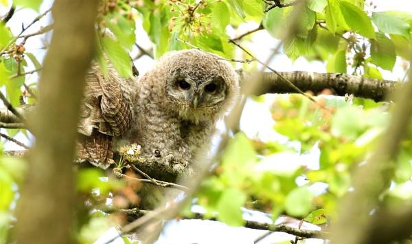 Tawny Owlets by Len1950