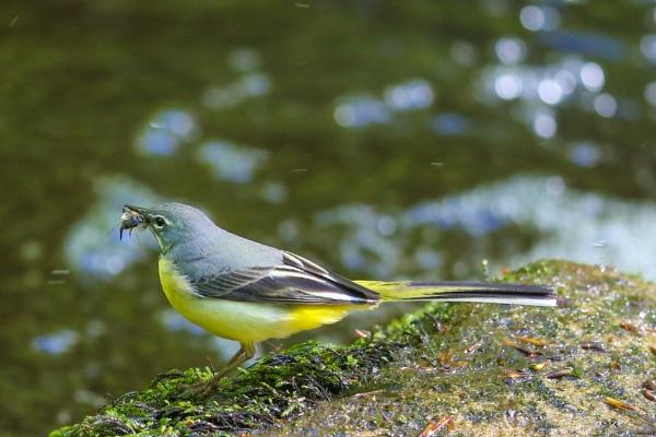 Grey wagtail (Motacilla cinerea) by shifter46
