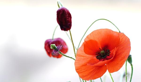 Poppies 2 by patri