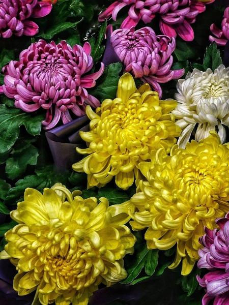 Chrysanthemums by StevenBest