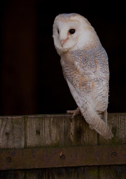 Barn Owl on Barn Door by philhomer