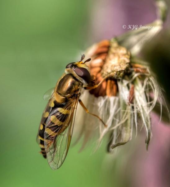 Hoverfly by kaz1