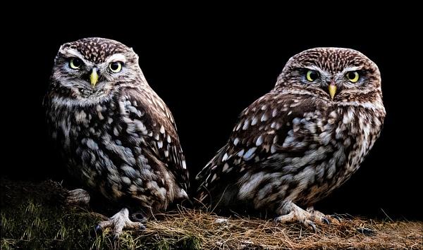 Little Owls by Steinmachine