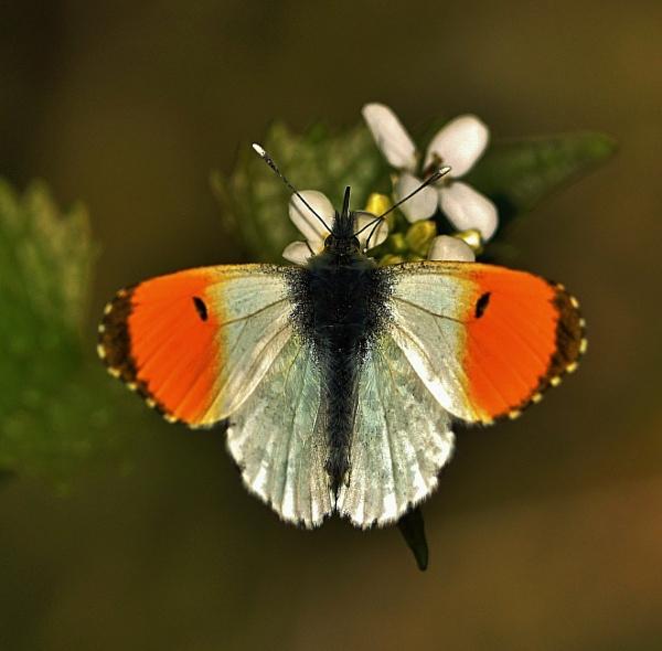 Male Orange Tip Butterfly. by georgiepoolie