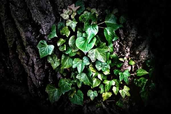 Ivy by akh